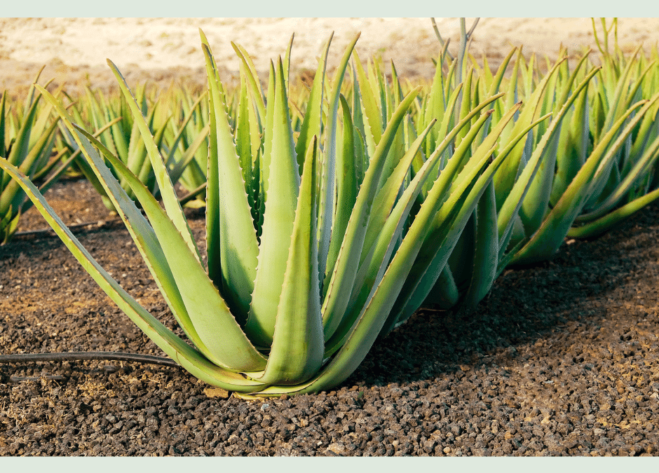 What is Aloe Vera?